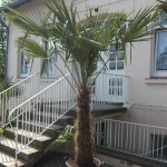 Palmenart Trachycarpus fortunei
