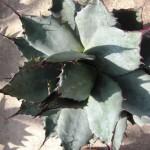 Diese Agave ist eine mittelgroße Pflanze die im westlichen Texas zuhause ist