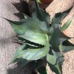 Die Agave Ovatifolia wächst so wie Sie es wollen