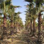 Washingtonia robusta/ Pettycoatpalme, leicht winterharte Palme, sehr Pflegeleicht